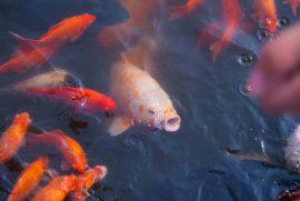 Comment nourrir les poissons de mon bassin si je pars en vacances?